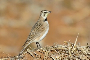 Female Horned Lark